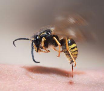 ハチはなぜ人を刺すのか?